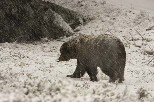 grizzly-walking-snow