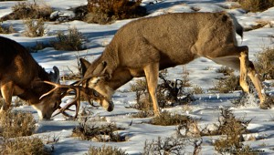 Was out filming mule deer and got into this fight during the rut. Go to my Face Book to see all 7 photos of this great fight.