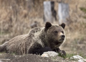 Grizzly on mount