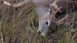 EHG Deer