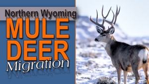 newsletter 1 15 Northern Mule Deer Imgration