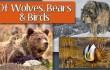 newsletter 3 15 wolves bears birds (1)