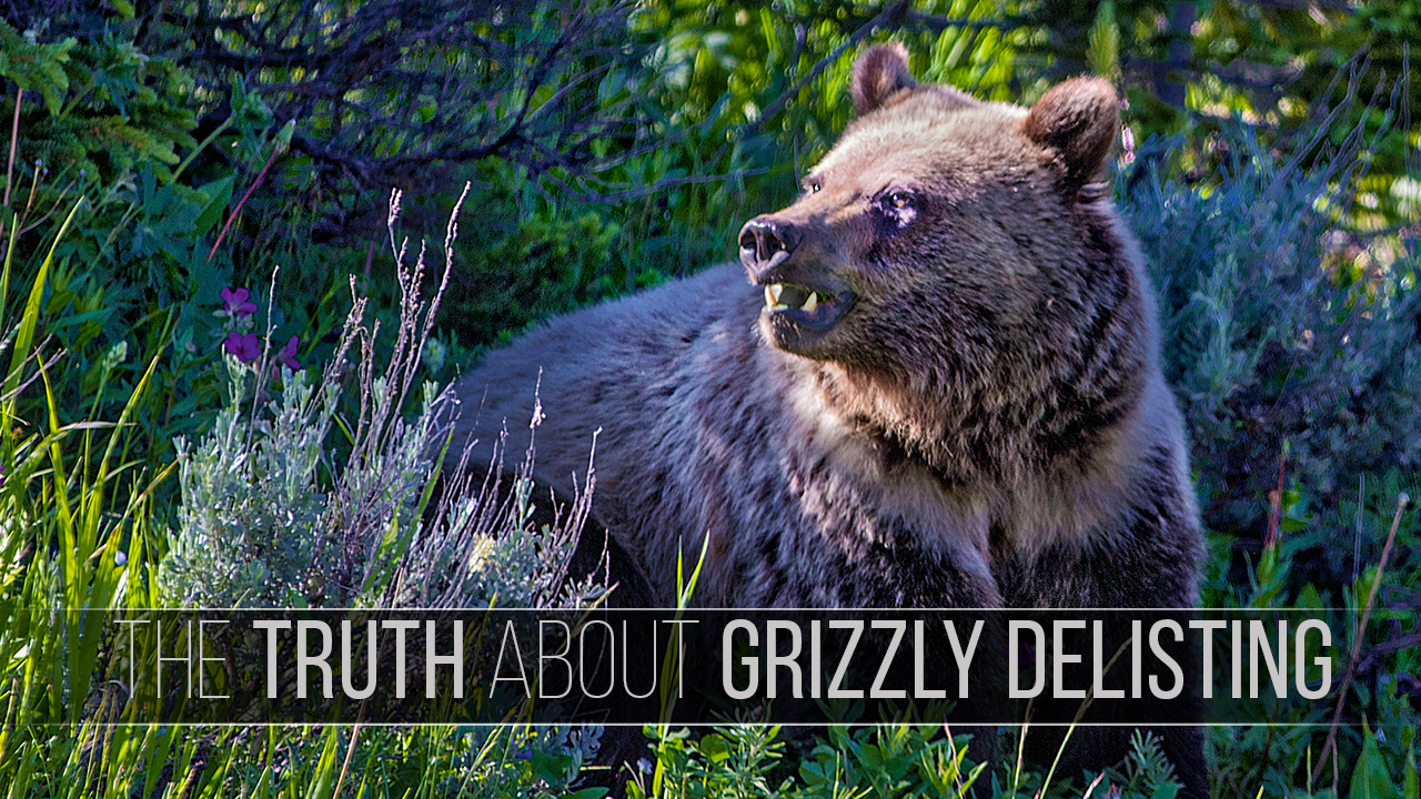 TheTruthAboutGrizzlyDelisting