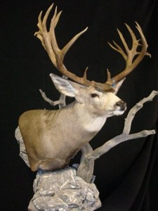 Taxidermy is an art form!!! Mel did a great job re-mounting my WY mule deer. Exactly what you would expect from a guy who has mounted more world records than any man on earth!!!!