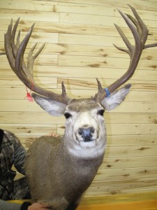 """This photo of the """"old"""" not so old mount reveals what a difference there is between bad taxidermy and good taxidermy."""