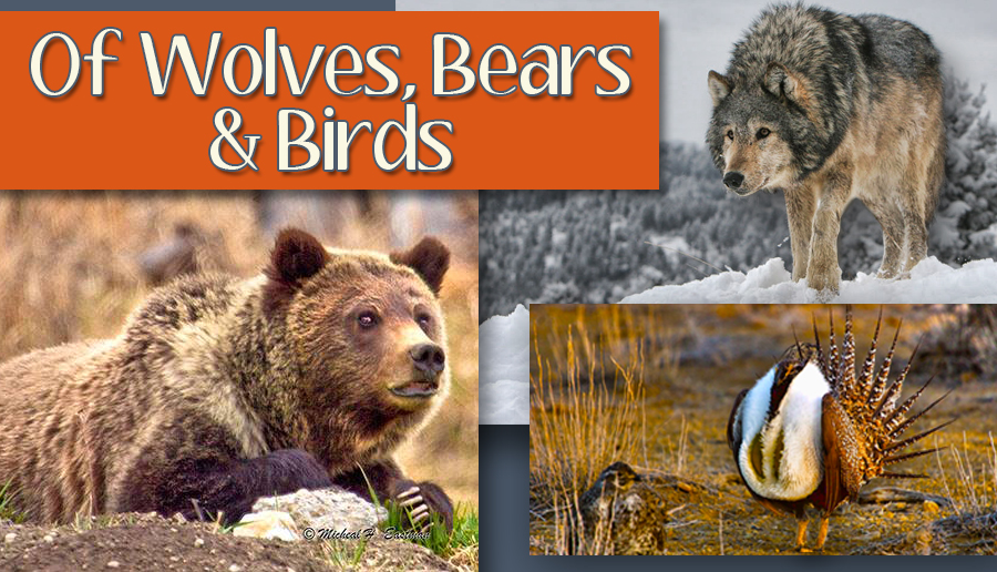 newsletter 3 15 wolves bears birds (1)