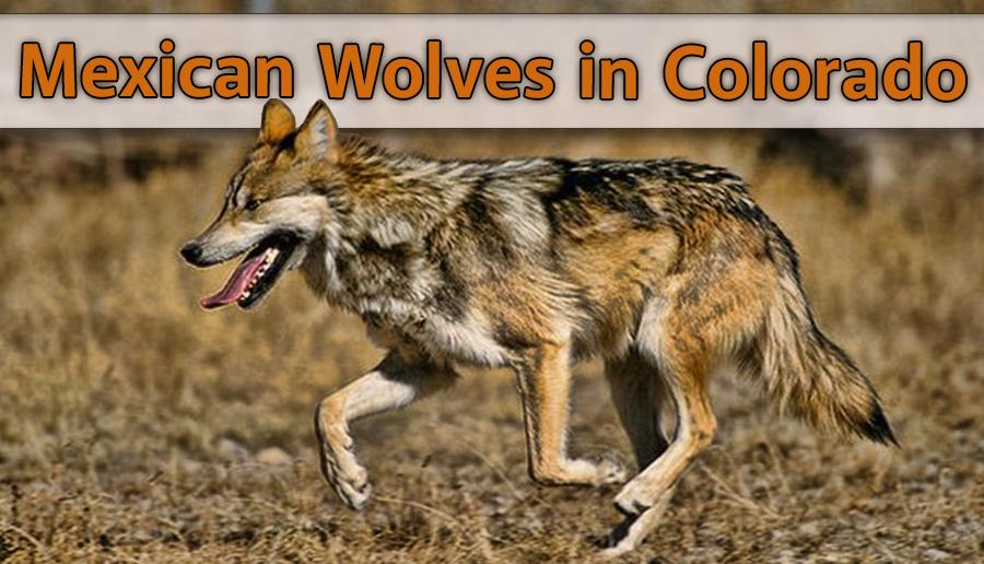 newsletter 1 16 mex wolves