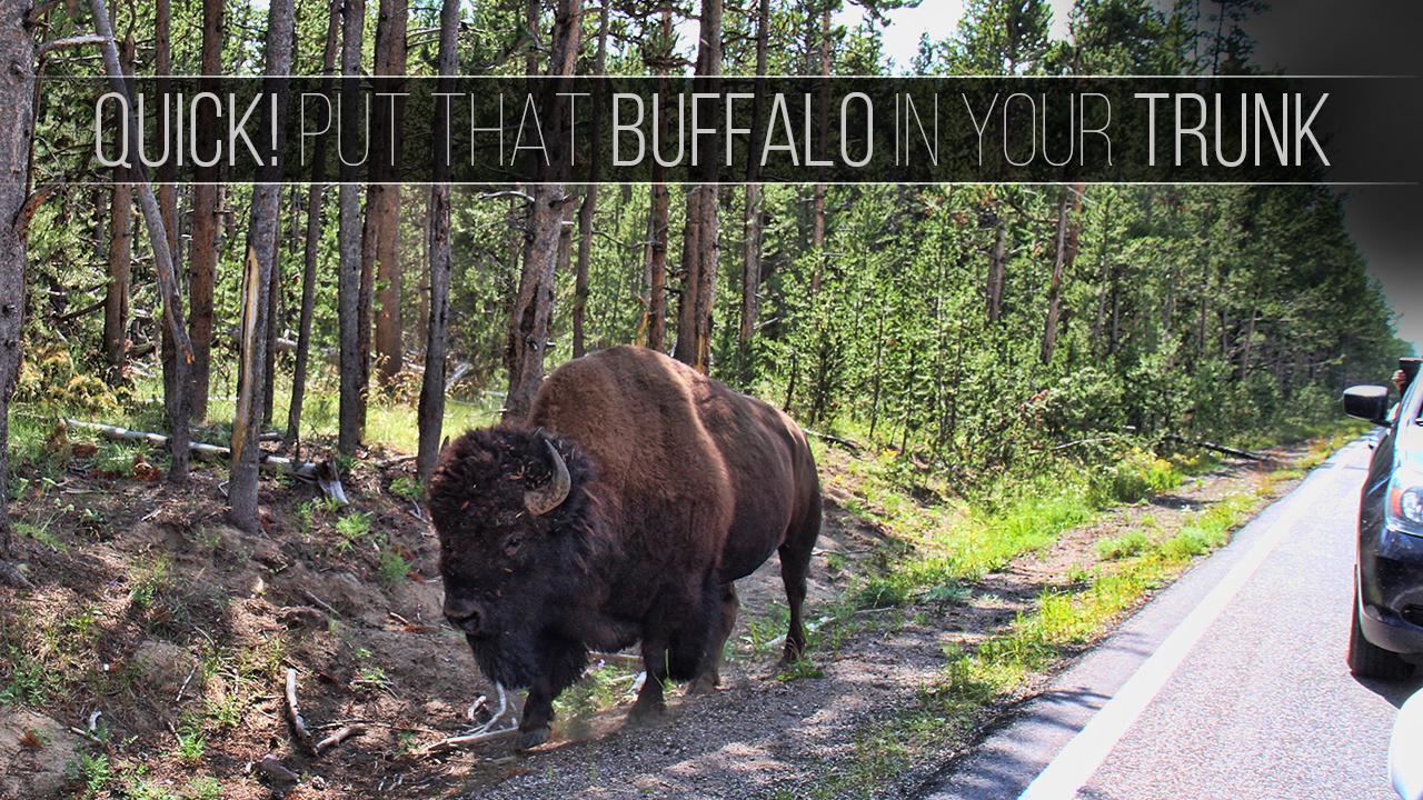 Buffalo in truck 6 16 (1)