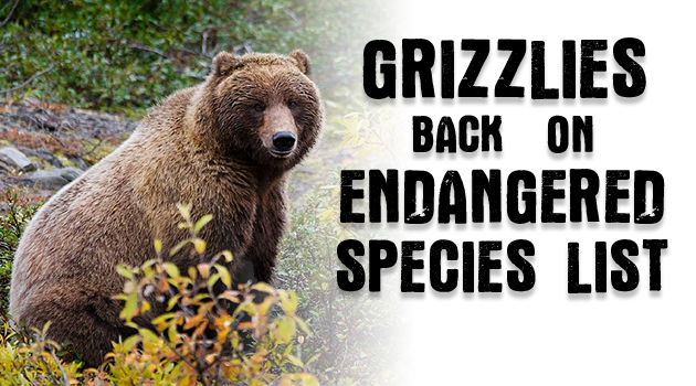 Judge: Grizzlies Back on Endangered Species List